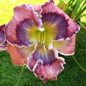 Photo of Daylily (Hemerocallis 'Ocean Lotus')