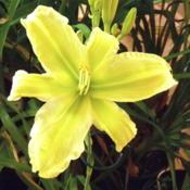 Photo of Daylily (Hemerocallis 'Green is Good')