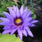 Photo of Tropical Day-Blooming Water Lily (Nymphaea 'Director George T. Moore')