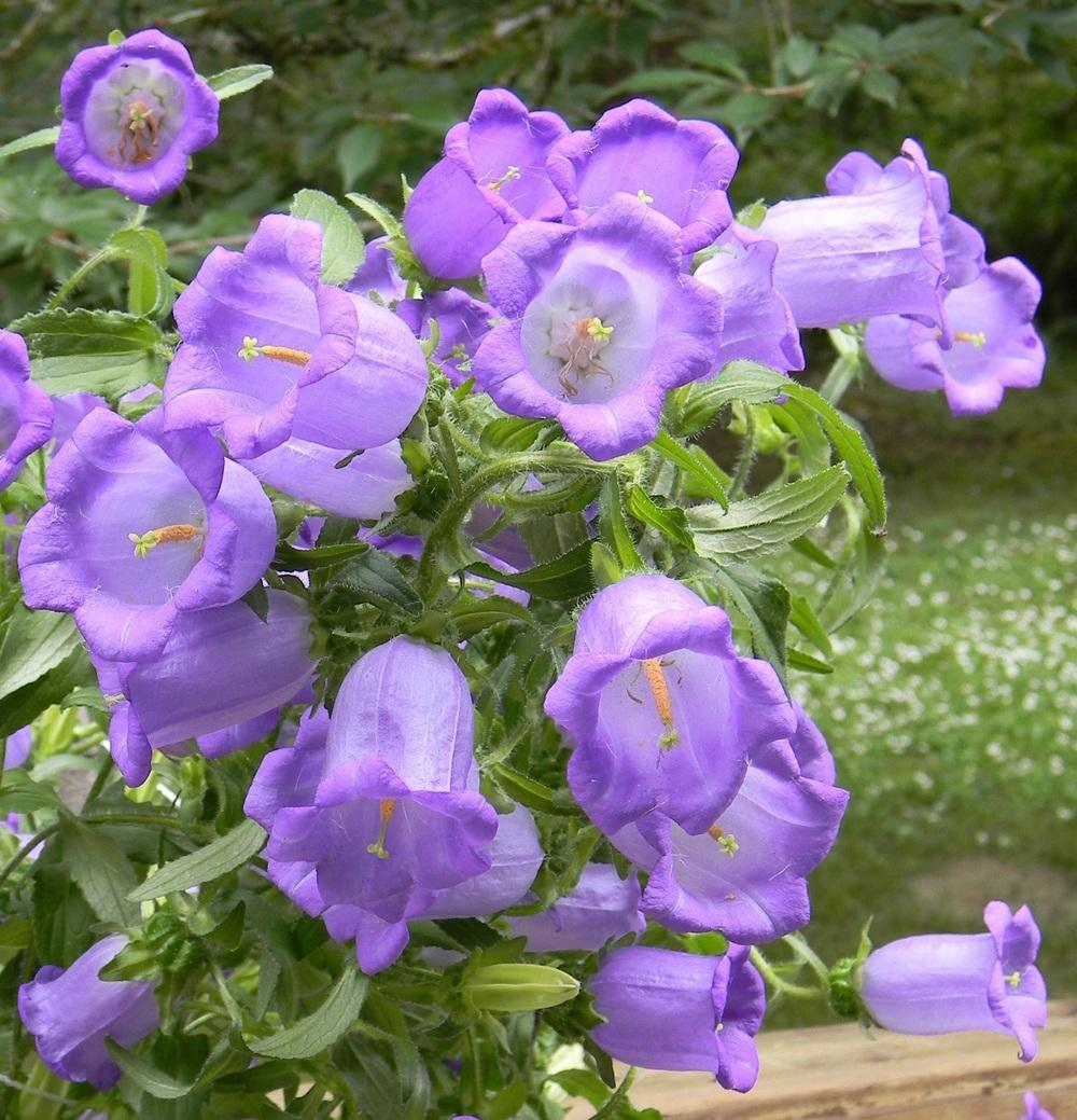 Bellflowers Plant Care And Collection Of Varieties Garden