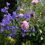 Photo of Peach-Leaf Bellflower (Campanula persicifolia 'Telham Beauty')