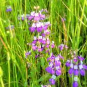 Photo of Chinese Houses (Collinsia heterophylla)