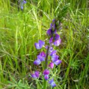 Photo of Dove Lupine (Lupinus bicolor)