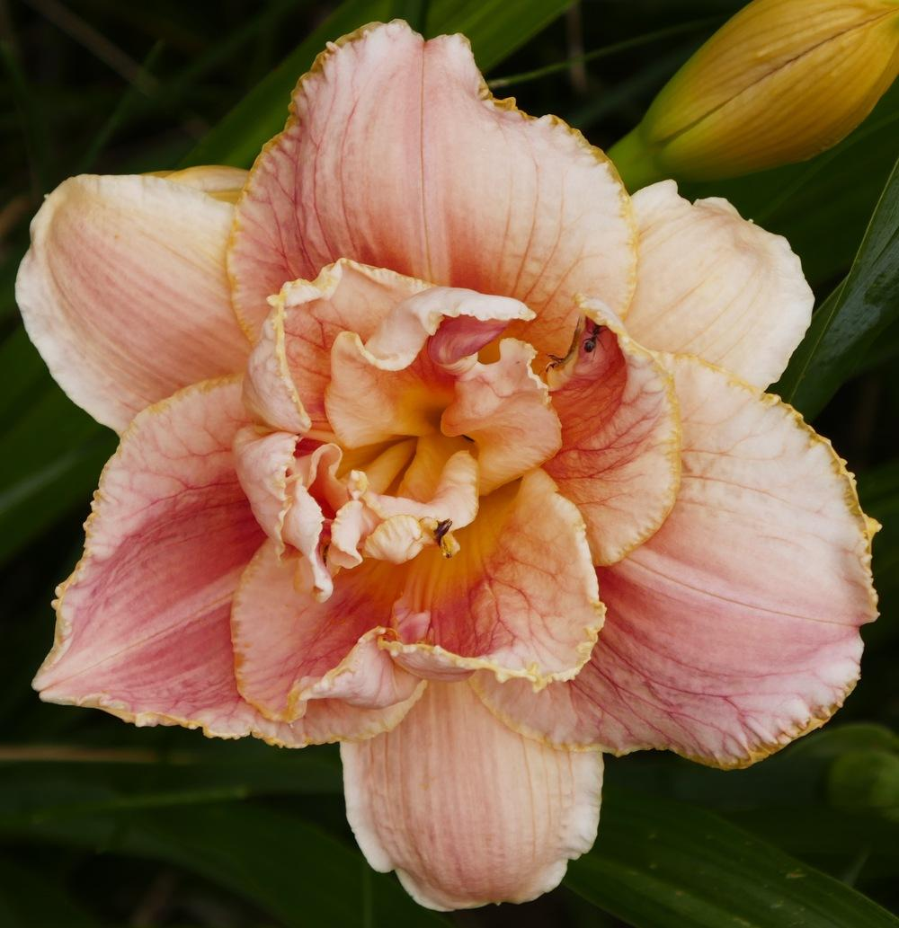 Photo of Daylily (Hemerocallis 'Dorothy and Toto') uploaded by Charlemagne