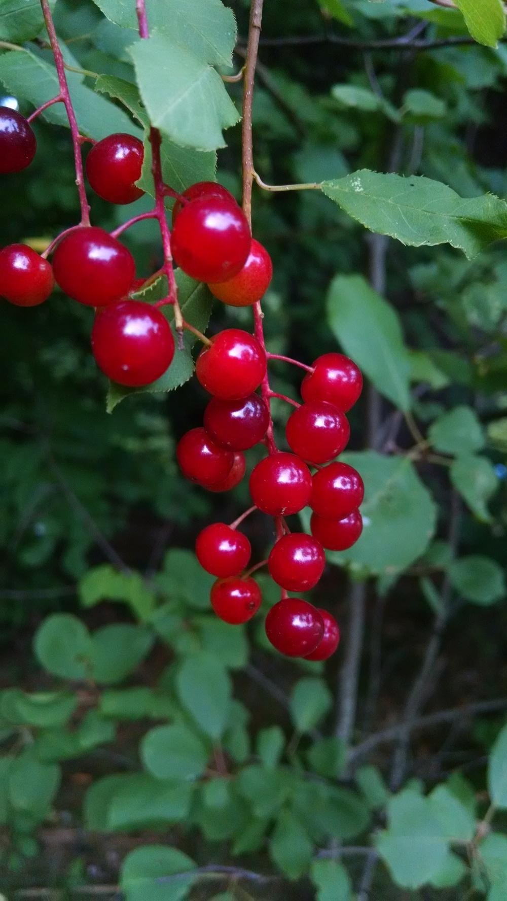 Sweet cherry: planting and caring for seedlings. Cherry varieties, photo 43