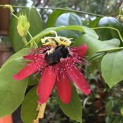 Location: Winter Springs, FL zone 9bDate: 2017-07-24Bumble bee pollinating my passionflower