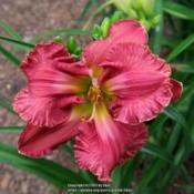 Photo of Daylily (Hemerocallis 'Cozy Fanny')