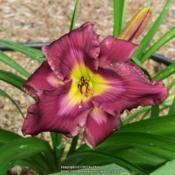 Photo of Daylily (Hemerocallis 'Sinister Variations')
