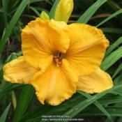 Photo of Daylily (Hemerocallis 'Fall Frolic')
