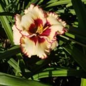 Photo of Daylily (Hemerocallis 'Raspberries in Cream')