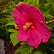 Location: Botanical Gardens of the State of Georgia...Athens, GaDate: 2017-07-28Pink Hibiscus 011