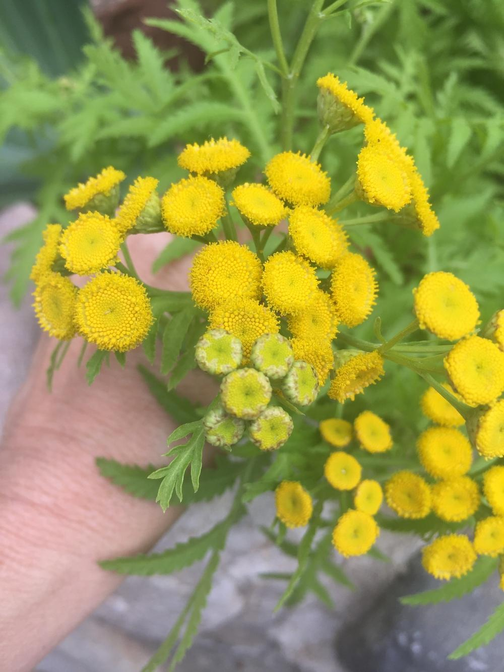 Photo of Tansy (Tanacetum vulgare) uploaded by SpringGreenThumb