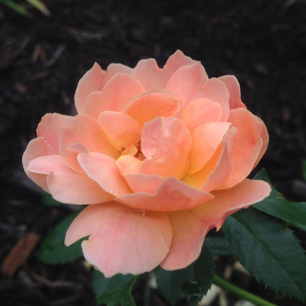 Photo of Rose (Rosa 'At Last') uploaded by csandt