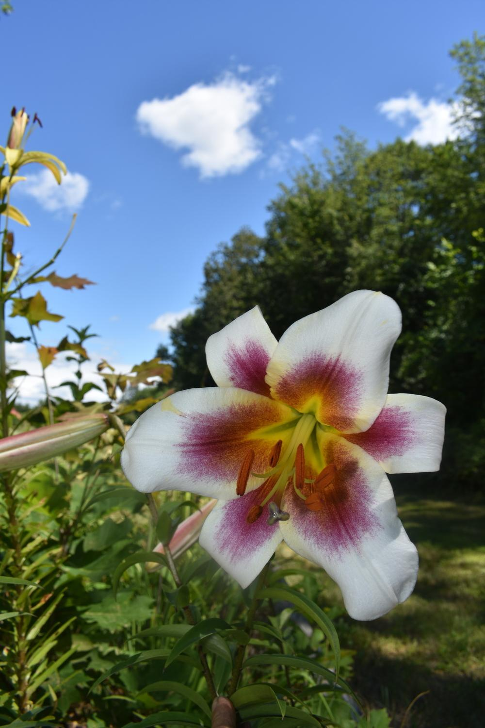 Photo Of The Bloom Of Lily Lilium Passion Moon Posted By