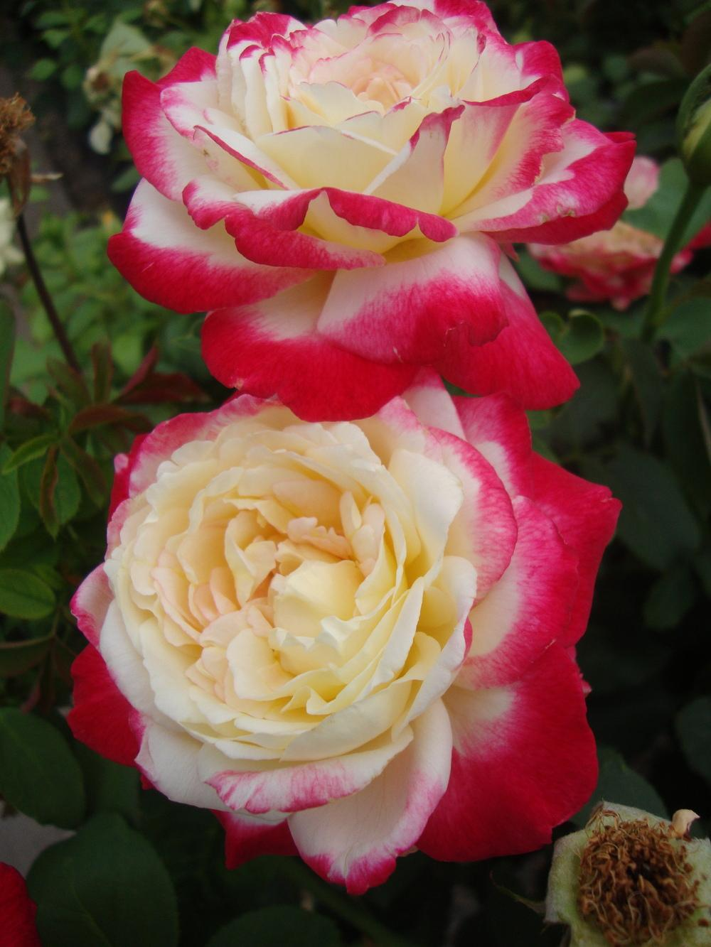 Photo of Rose (Rosa 'Double Delight') uploaded by Paul2032