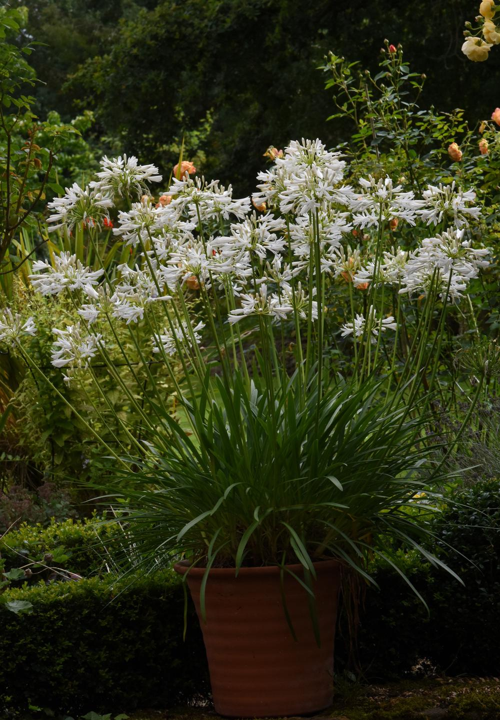 Photo of the entire plant of lily of the nile agapanthus africanus photo of lily of the nile agapanthus africanus albus uploaded by cliftoncat izmirmasajfo