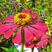 Location: Botanical Gardens of the State of Georgia...Athens, GaDate: 2017-07-31Zinnia - Ring Of Flowers 003