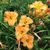 Location: 5 Acre Farm Daylilies Date: 2017-08-01
