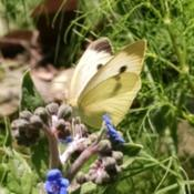Location: Athol, MADate: 2017-08-03#Pollination   Cabbage White Butterfly