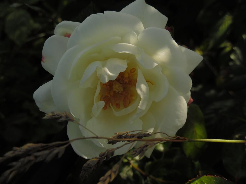 Photo of Rose (Rosa 'Winchester Cathedral') uploaded by Prosedda