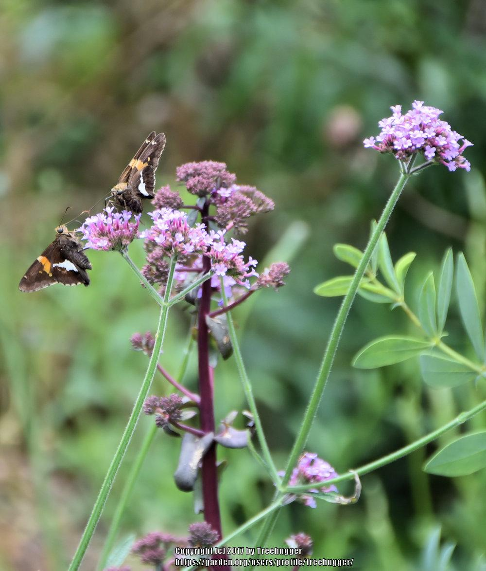 Photo of Brazilian Verbena (Verbena bonariensis) uploaded by treehugger