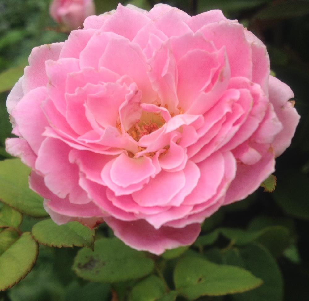 Photo of Rose (Rosa 'Beverly') uploaded by csandt