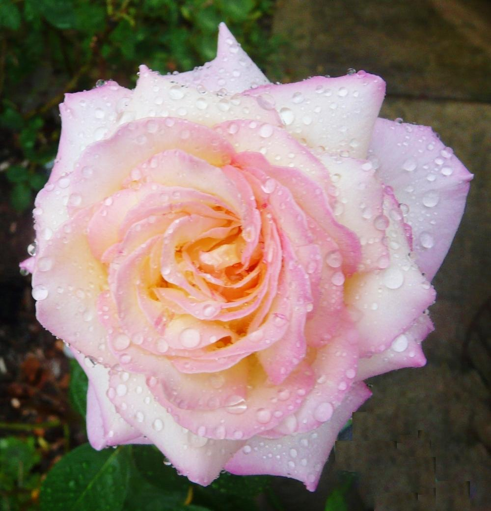 Photo of Rose (Rosa 'Peace') uploaded by cwhitt