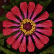 Location: Botanical Gardens of the State of Georgia...Athens, GaDate: 2017-08-07Perfect Zinnia 003