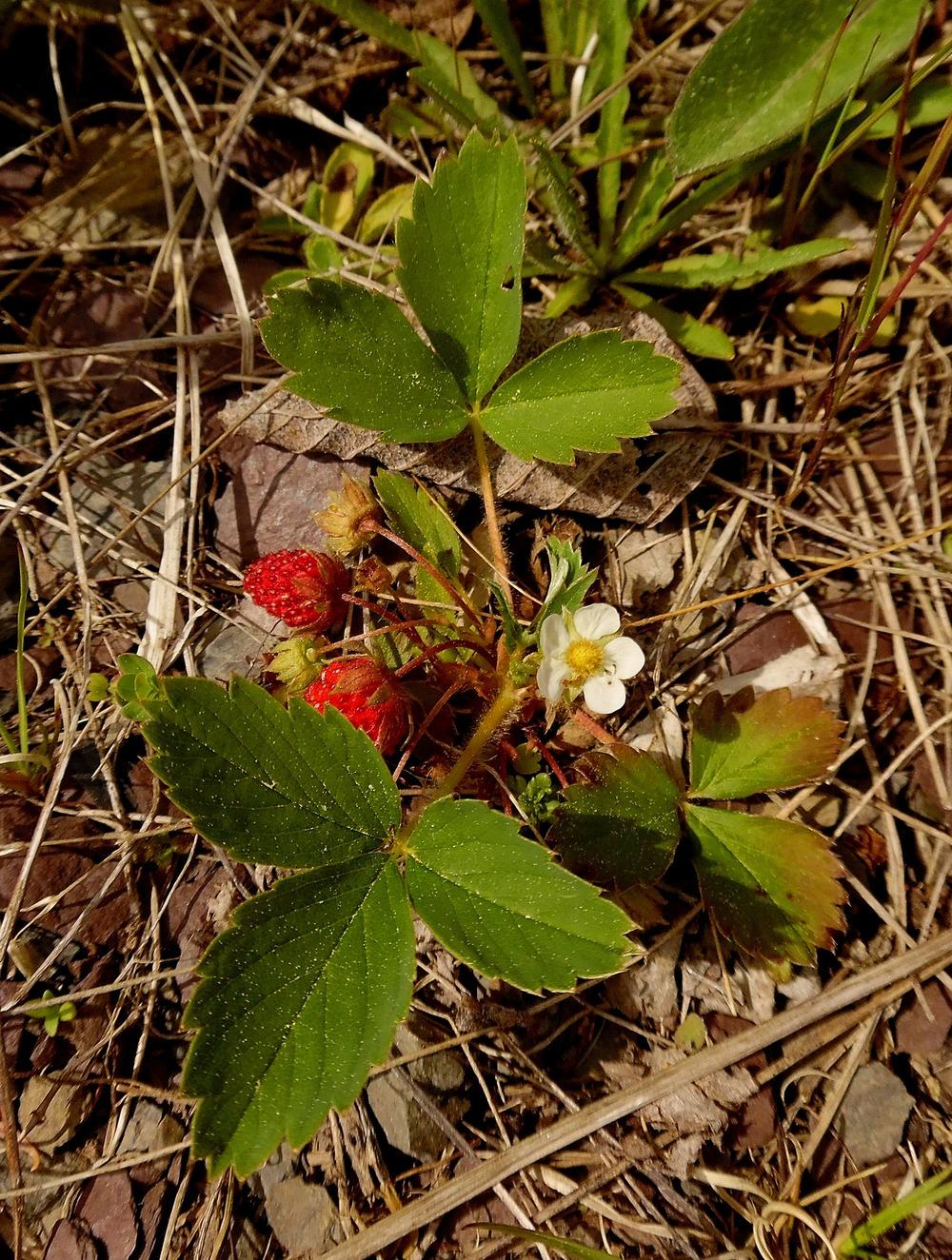 Strawberries: Plant Care and Collection of Varieties - Garden.org