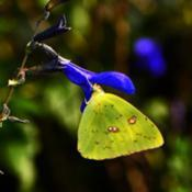 Location: Botanical Gardens of the State of Georgia...Athens, GaDate: 2017-08-08Blue Salvia and Cloudless Sulphur Butterfly 005