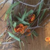 Location: ToowoombaDate: 2017-08-08Trying to identify this plant. Yellow/Orange seed casings are abo