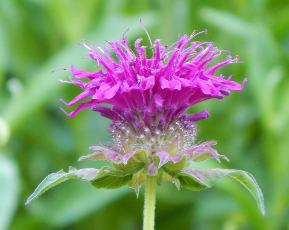 Photo of Bee Balm (Monarda 'Blaustrumpf') uploaded by beenthere