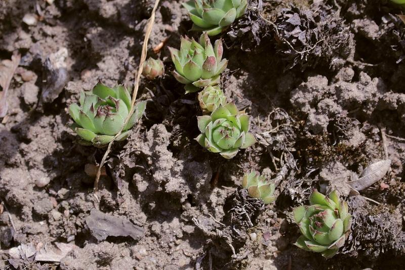 Photo of Hen and Chicks (Sempervivum 'Grune Rose') uploaded by RuuddeBlock