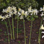 Location: Botanical Gardens of the State of Georgia...Athens, GaDate: 2017-08-11White Surprise Lily - Lycoris elsiae 007