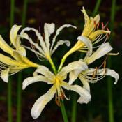 Location: Botanical Gardens of the State of Georgia...Athens, GaDate: 2017-08-11White Surprise Lily - Lycoris elsiae 006