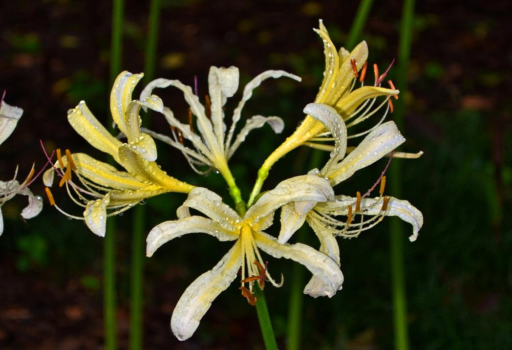 Photo of White Spider Lily (Lycoris x albiflora) uploaded by dawiz1753
