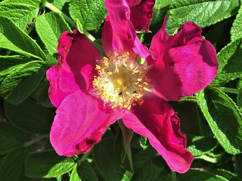 Photo of Beach Rose (Rosa rugosa) uploaded by nativeplantlover