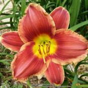 Location: My Caffeinated Garden, Grapevine, TXDate: May 2017A very good daylily.