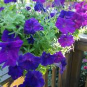 Location: My Caffeinated Garden, Grapevine, TXDate: July 2017Spectrum of blues and violets