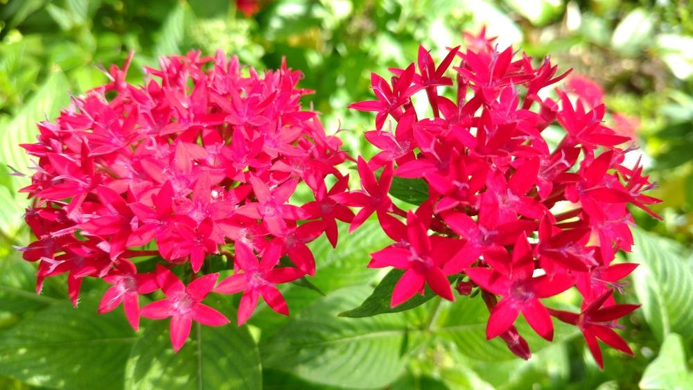 Photo of Star Flower (Pentas lanceolata) uploaded by DogsNDaylilies