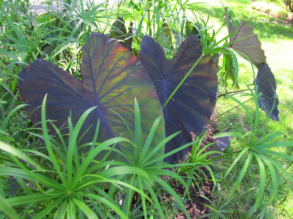Elephant Ears Colocasia Plant Care And Collection Of Varieties