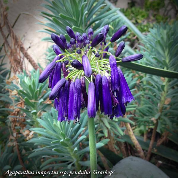 Lily Of The Nile Agapanthus Inapertus Subsp Pendulus Graskop