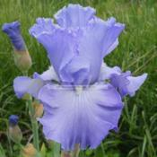 Location: Beaumont Ridge Iris GardensDate: May 14 -- 2017Wicked Cool -- J. Hedgecock '12