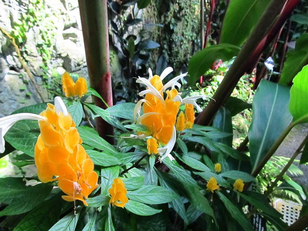 Photo of Golden Shrimp Plant (Pachystachys lutea) uploaded by jmorth