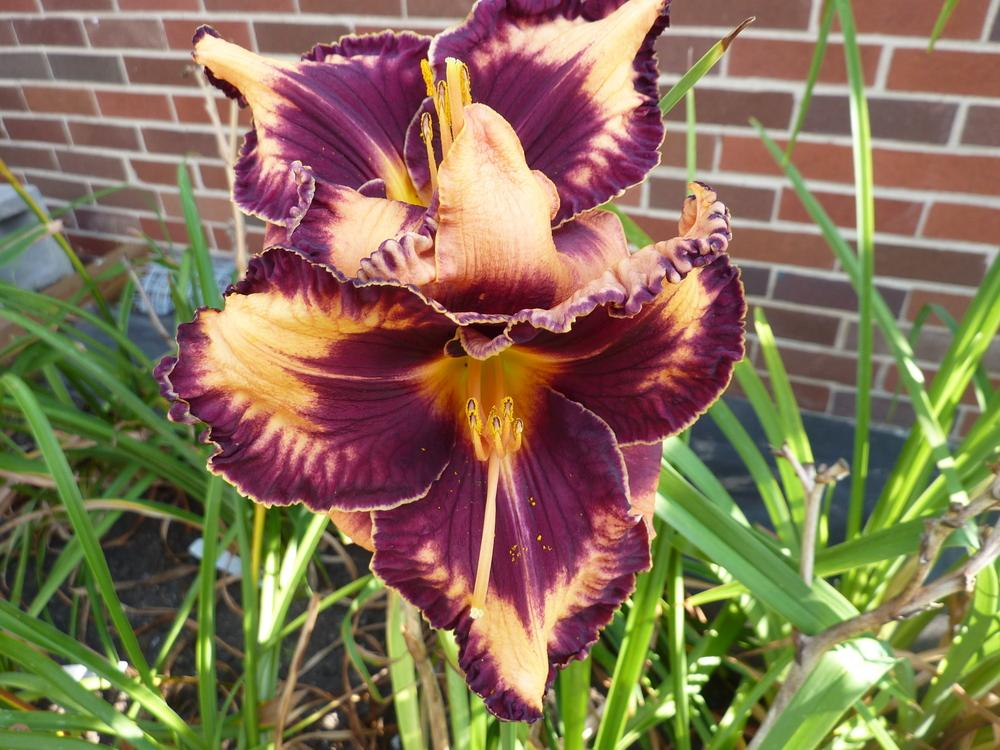 Photo of Daylily (Hemerocallis 'Gavin Petit') uploaded by mystlw
