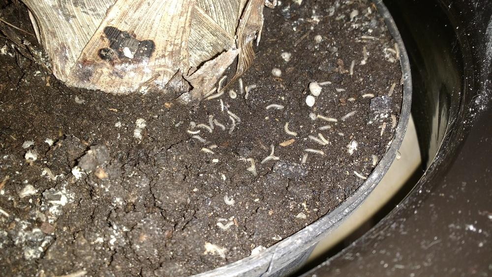 Pests and Diseases forum: small worms(?) in indoor palm tree soil