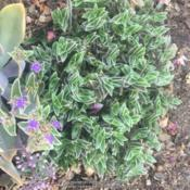 Location: Hamilton Square Garden, Historic City Cemetery, Sacramento CA.Date: 2017-08-15Doing very well in heavily mulched soil in full sun for much of t