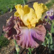 Location: Beaumont Ridge Iris GardensDate: May16 -- 2017Broad Minded -- M. Sutton '10