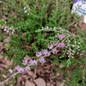 Scotch Heather Calluna Vulgaris Spring Torch Garden Org