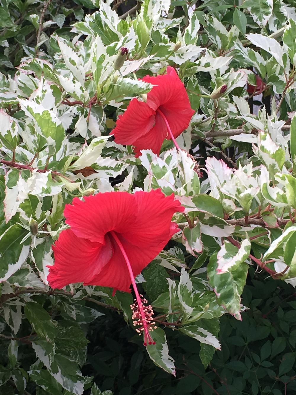 Photo Of The Bloom Of Variegated Tropical Hibiscus Hibiscus Rosa